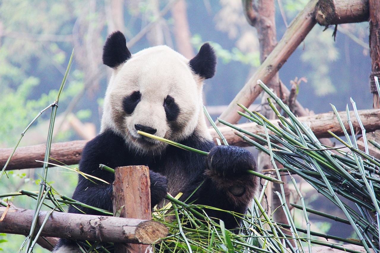 Панды прилетят в Берлин бизнес-классом