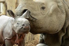 В Берлине родился носорог без рога!