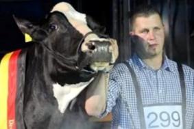 Леди Гага – самая красивая корова Германии