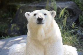 """В зоопарке Берлина на одного """"Умку"""" стало больше!"""