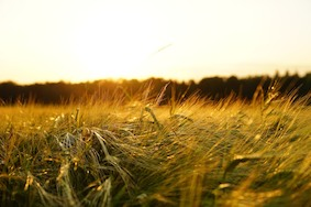 В Германии ожидается худший урожай века!