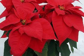 Рождество в Германии — миллион, миллион, миллион алых звёзд!