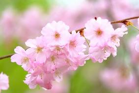 Когда цветет сакура…