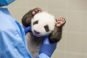 Детеныши панды в Берлине открыли глаза