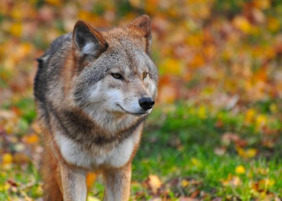 В Германию вернулись волки