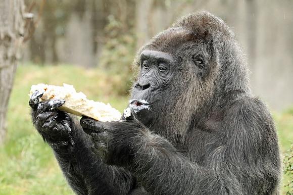 С Днём рождения, горилла Фату!