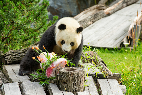 Панда — это Мечта! С Днём Рождения, Менг Менг!