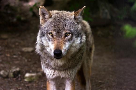 """Не кричите """"волки!"""""""