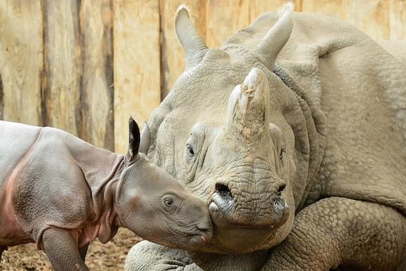 В Берлине родился носорог без носа!