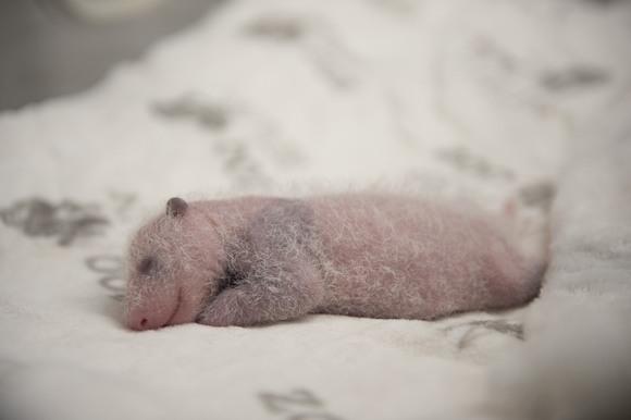 Сразу два детеныша панды родились в Берлинском зоопарке!