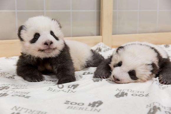 Мир узнал имена родившихся в Берлине панд