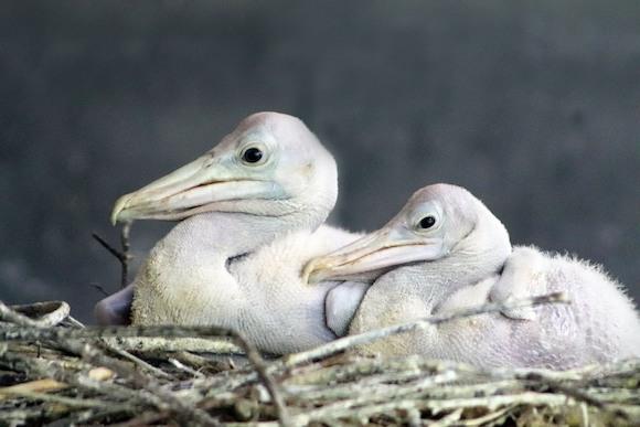 В семье пеликанов прибавление