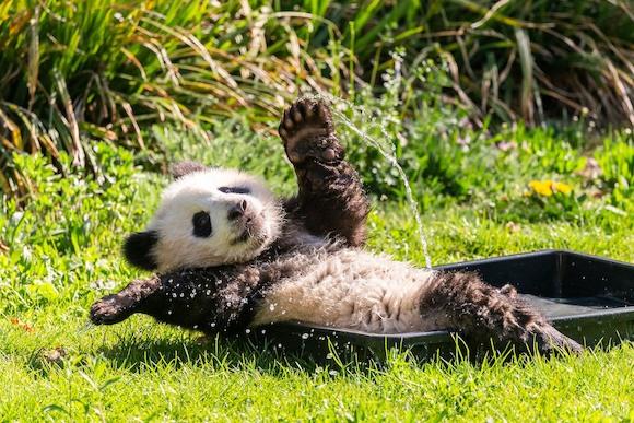 Берлинские панды празднуют день рождения!