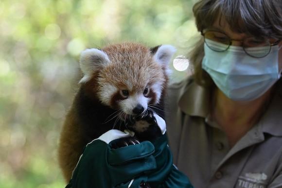 Малыш красной панды по имени Urs